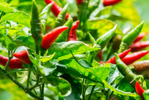 Does Cayenne Pepper Help In Weight Loss?